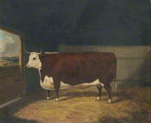 A Prize Cow in a Barn