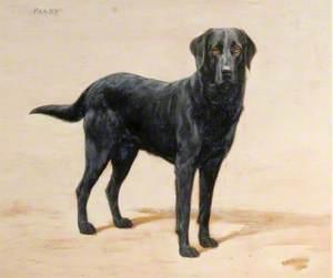 'Pandy', a Black Labrador
