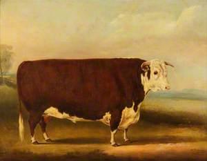 Hereford Bull: 'Walford'