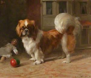 'Bo', a Pekingese Dog