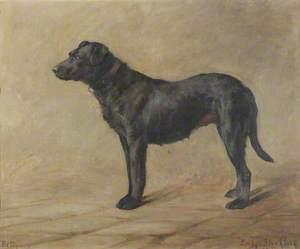 'Betty', a Black Labrador