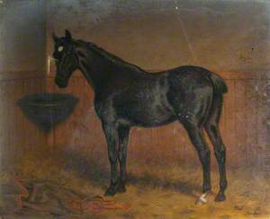 'Blackbird', a Dark Bay Racehorse in a Stable