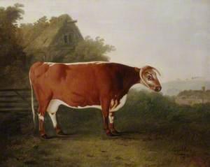 'Broken-Horned Beauty': A Cow
