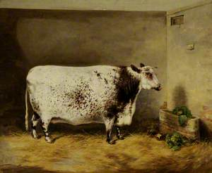 A Prize Shorthorn Cow