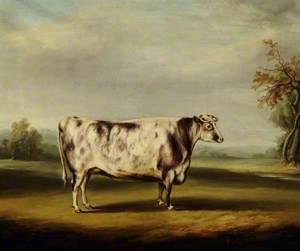 A Grey Shorthorn Cow