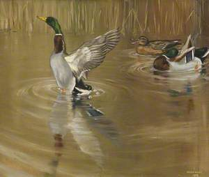 Mallards Preening and Drying