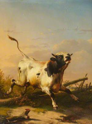 A Bull Leaping a Fence