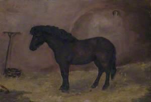 A Bay Pony