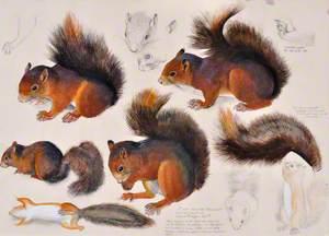 Gwiwer Goch / Red Squirrel
