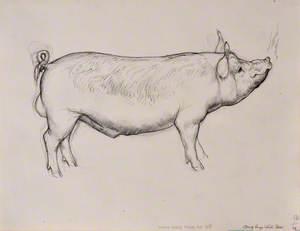 Baedd Gwyn Mawr Ifanc / Young Large White Boar