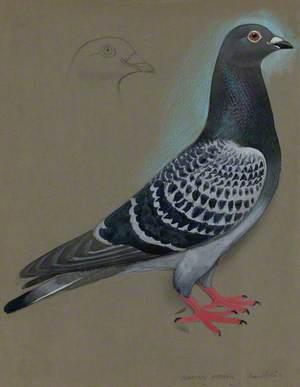 Colomen Rasio Ddychwel / Racing Homer Pigeon
