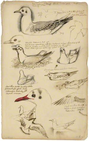 Astudiaethau o Wylan Penddu / Studies of a Black-Headed Gull