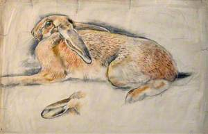 Ysgyfarnog / Hare