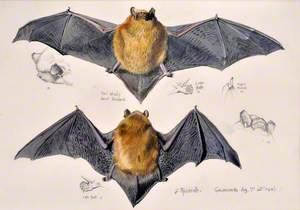 Ystlum Pipistrelle / Pipistrelle Bat