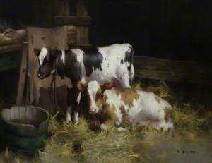 Two Ayrshire Calves