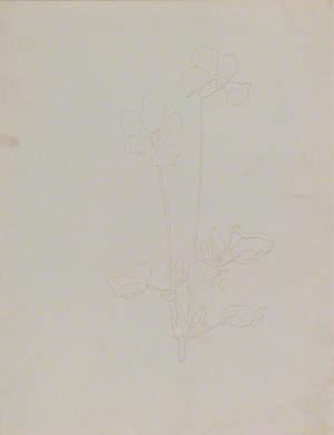 Study of Viola Gracilis