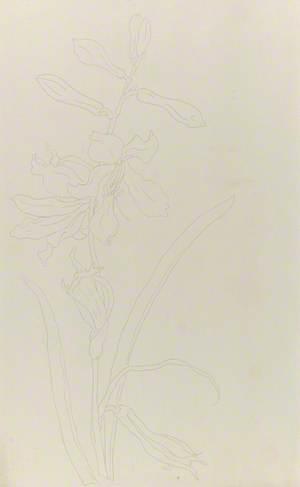 Study of Paradisea Liliastrum