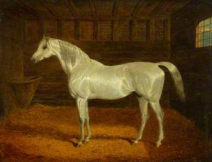 'Grey Manus' in Stables