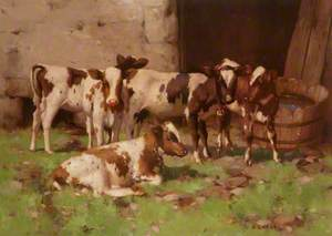 Ayrshire Calves