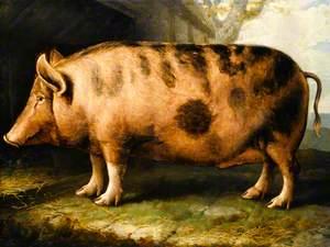 A Berkshire Pig