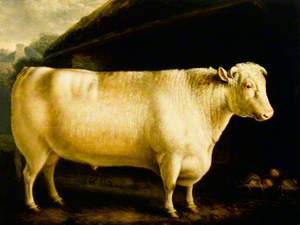 A Shorthorn Bull