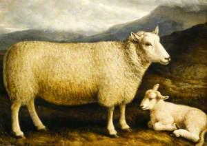 A Cheviot Lamb