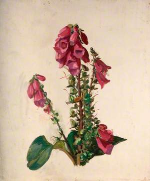 Study of Foxgloves