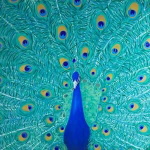 Orientation Panel; Peacock