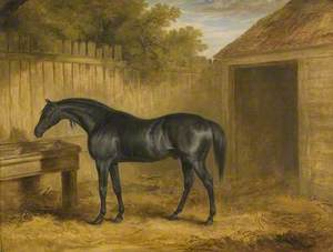 Black Stallion Outside a Stable