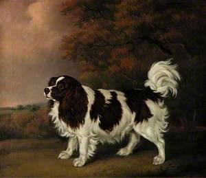 Study of a King Charles Spaniel