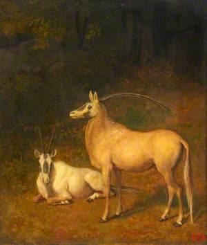Two White Antelopes