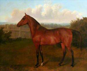 Colt of Mare and Arab Horse