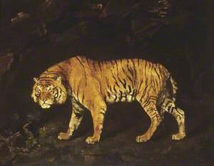 A Tigress