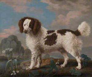 Brown and White Norfolk or Water Spaniel