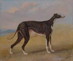 Turk, a Greyhound, the Property of George Lane Fox