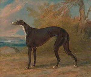 One of George Lane Fox's Winning Greyhounds: The Black and White Greyhound Bitch, Juno, Also Called Elizabeth