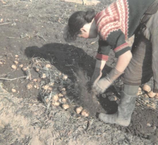 Smith_burnside_farm_girvan_picking_potatoes_by_hand_jpg