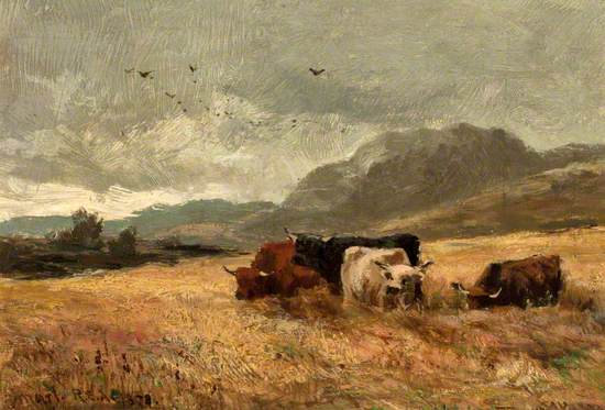 Highland Cattle in Cornfield