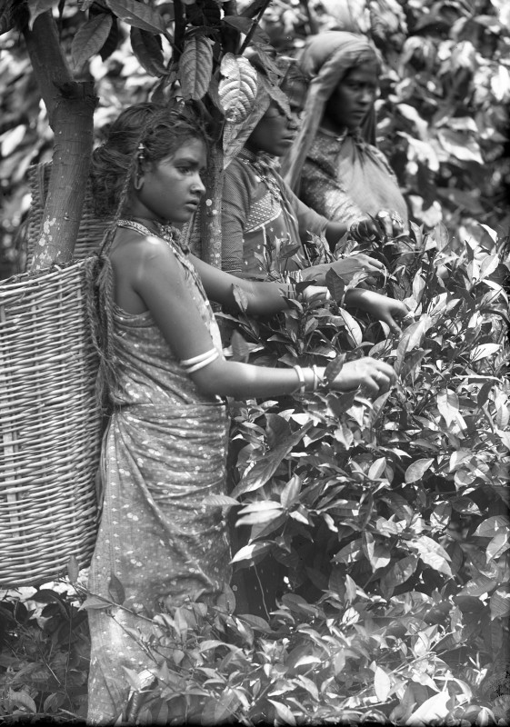 Three_Ceylonese_women_picking_tea_leaves_2016_1127_jpg