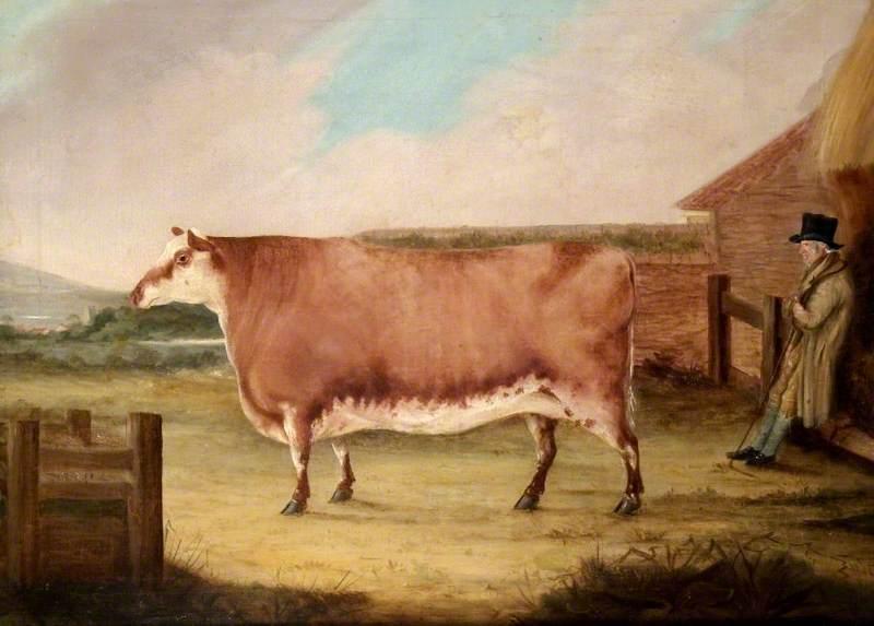 A Polled Heifer
