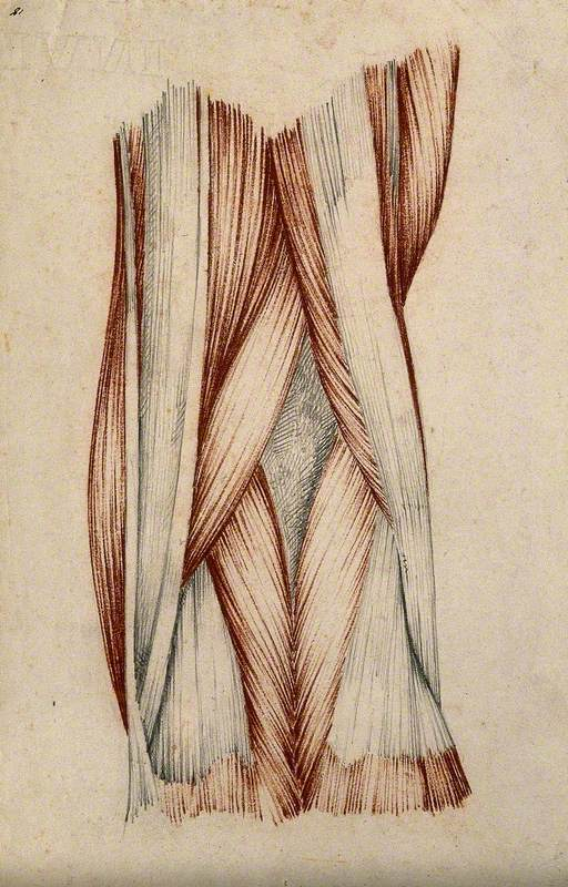 Muscles and Tendons of the Knee Joint