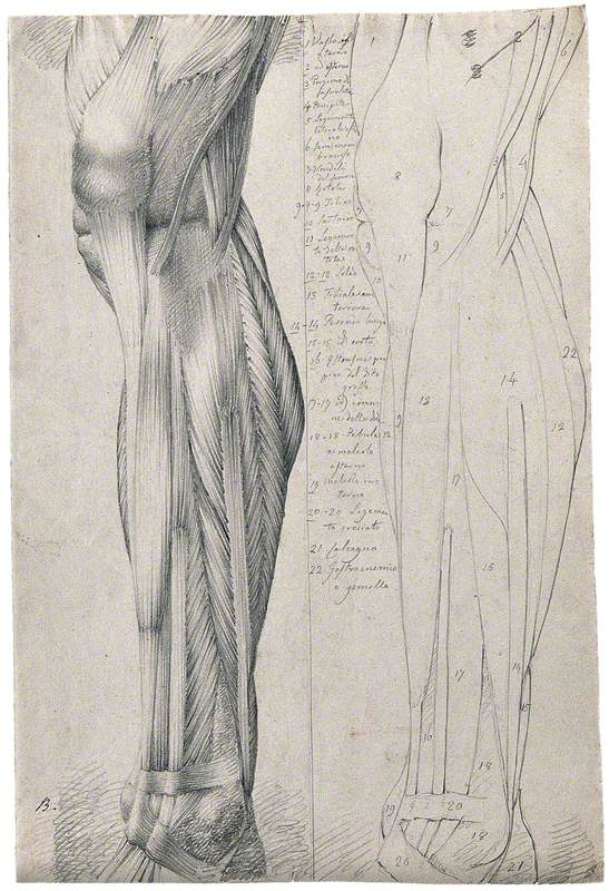 Muscles and Tendons of the Lower Leg and Foot, Seen from the Side: Two Figures Showing Both Stylised Outline and Detailed Drawing