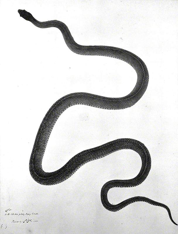 Snake, Grey-Green in Colour