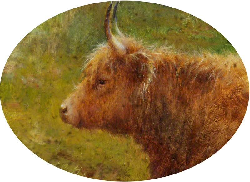 Study of a Highland Cow