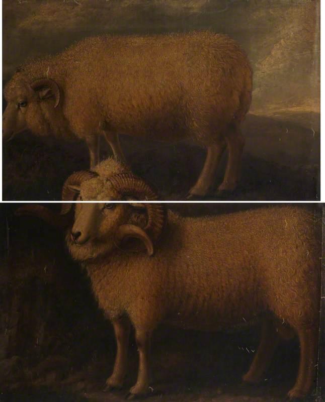 Exmoor Ram and Ewe