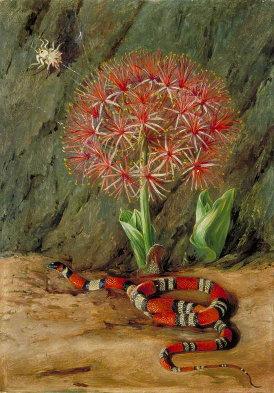 Flor Imperiale, Coral Snake and Spider, Brazil