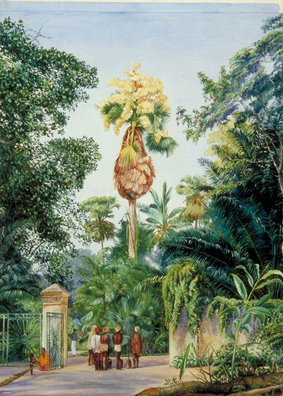 Talipot Palm near the Botanic Garden, Peradeniya, Ceylon