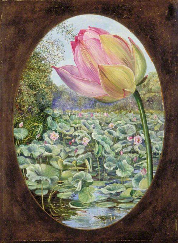 The Sacred Lotus or Pudma