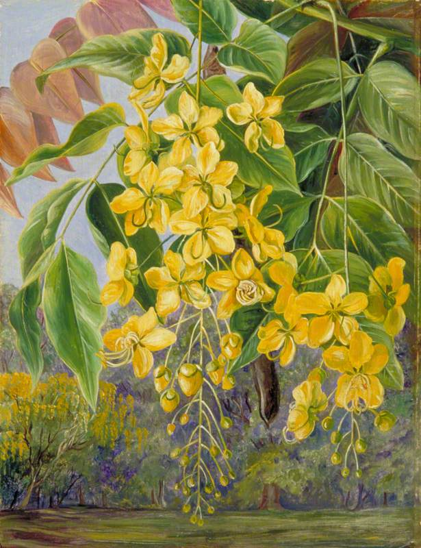 Foliage and Flowers and a Pod of the Amaltas or Indian Laburnum