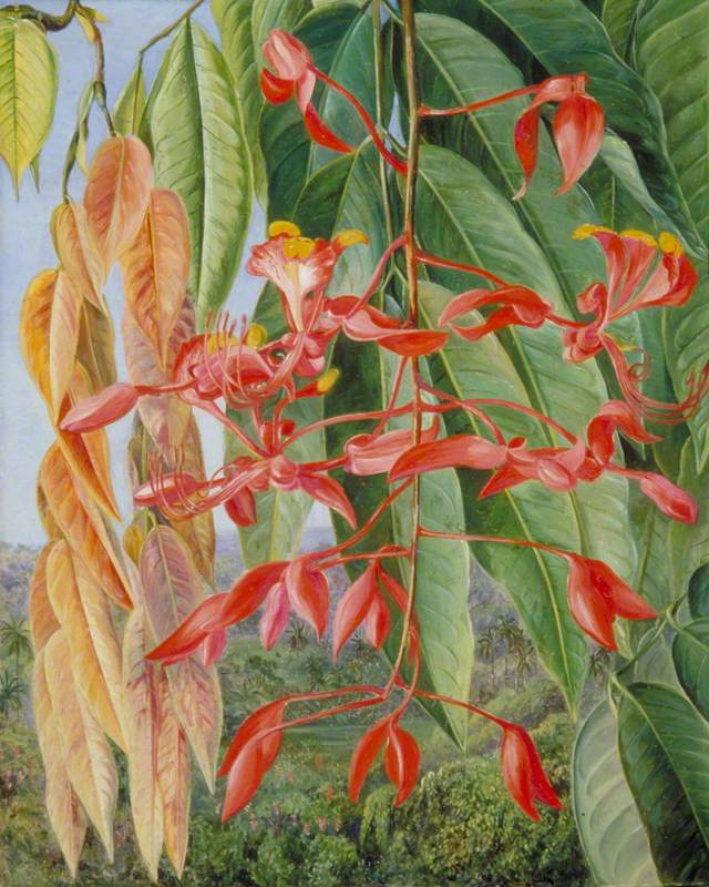 Foliage and Flowers of the Burmese Thaw-Ka or Soka, Painted at Singapore